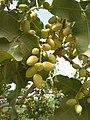 کندهاری پسته kandahar pistachio.jpg