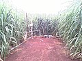 ไร่อ้อยระบบน้ำหยด - panoramio (6).jpg