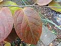 カキノキ(柿の木)(Diospyros kaki Thunb.)-葉02 (5845084688).jpg