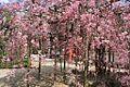 保寿院のしだれ桜 - panoramio.jpg