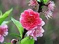 杏花 apricot - panoramio.jpg