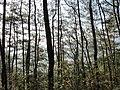 枫林古道上的松树林 - panoramio (1).jpg