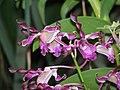 石斛蘭 Dendrobium Brogotwist x Michiko -香港動植物公園 Hong Kong Botanical Garden- (9198102751).jpg