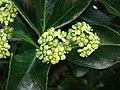 膠州衛矛 Euonymus kiautschovicus -青島植物園 Qingdao Botanical Garden, China- (14482886928).jpg