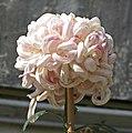 菊花-粉面金剛 Chrysanthemum morifolium 'Pink Face Warrior Guardian' -香港圓玄學院 Hong Kong Yuen Yuen Institute- (12027168996).jpg