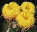 菊花-金陵陶黃 Chrysanthemum morifolium -香港圓玄學院 Hong Kong Yuen Yuen Institute- (12099659306).jpg