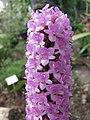 蠟燭蘭 Arpophyllum giganteum -比利時國家植物園 Belgium National Botanic Garden- (9193447386).jpg