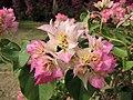 西施葉子花 Bougainvillea Cherry Blossom -深圳蓮花山公園 Shenzhen Lianhuashan Park, China- (11205175144).jpg