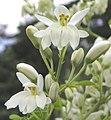 辣木 Moringa oleifera -新加坡植物園 Singapore Botanic Gardens- (9237473791).jpg
