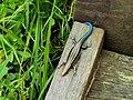 麗紋石龍子 Eumeces elegans Boulanger - panoramio.jpg