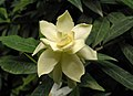 黃梔子 Gardenia jasminoides -北京花卉大觀園 The World Flower Garden, Beijing- (9252406893).jpg