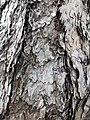黑松 Pinus thunbergii 20211007185113 04.jpg