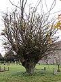 -2018-11-15 George V Silver Jubilee Tree, Churchyard, Saint Mary's, Antingham.JPG