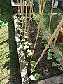 -2019-05-21 Runner Bean plants, Trimingham.JPG