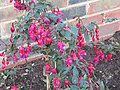 -2020-06-19 A fuchsia bush, Trimingham, Norfolk.JPG