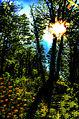 . entre el sol .bosque lanin.jpg