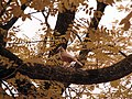 02 sabiá-laranjeira (Turdus rufiventris).jpg