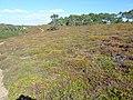 07 Presqu'île de Roscanvel Lande fleurie en septembre près du fort de Cornouaille.JPG