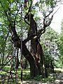 090716 - Mieszko Oak - 02.jpg