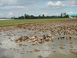09461jfRoads Paddy fields Domesticated ducks Paligui Candaba Pampangafvf 25.JPG