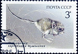 Cardiocraniinae - Cardiocranius paradoxus on a Soviet Union stamp of 1985