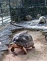 1 Astrochelys radiata tortoises - Mauritius.jpg