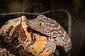 1 month old Tokay gecko.jpg