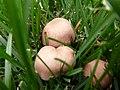 2011-09-23 Rugosomyces carneus (Bull.) Bon 170396.jpg