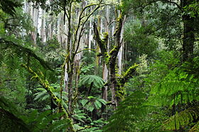 20110528 Tarra-Bulga National Park - Forest near Cyathea Falls.jpg