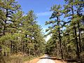 2013-05-10 10 50 28 Large pitch pines along the Mount Misery Trail where it overlaps Butterworth Road in Brendan T. Byrne State Forest.jpg