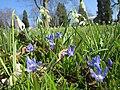 20130402Scilla luciliae - Galanthus nivalis1.jpg