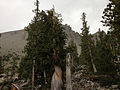 2014-09-15 13 51 37 Bristlecone Pine along the Bristlecone Trail in Great Basin National Park, Nevada.JPG