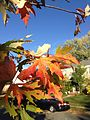 2014-11-02 15 14 32 Silver Maple foliage during autumn along Pingree Avenue in Ewing, New Jersey.jpg