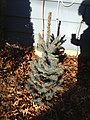 2014-12-27 12 13 44 Blue Spruce cultivar 'Mission Blue' along Terrace Boulevard in Ewing, New Jersey.JPG