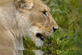 20140812 Lion IMG 0800.png