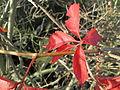20141108Parthenocissus quinquefolia2.jpg