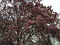 2015-04-10 07 39 33 Saucer Magnolia blossoms on Hoga Road in Sterling, Virginia.jpg