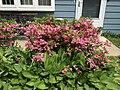 2015-05-17 14 29 39 Hostas and Rosebud Azalea in bloom on Terrace Boulevard in Ewing, New Jersey.jpg