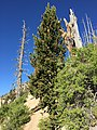 2015-07-13 07 39 13 Great Basin Bristlecone Pine along the North Loop Trail about 5.4 miles west of the trailhead in the Mount Charleston Wilderness, Nevada.jpg