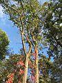 20161002Parthenocissus quinquefolia12.jpg