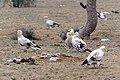 20191213 Neophron percnopterus, Jor Beed Bird Sanctuary, Bikaner 0926 8268.jpg