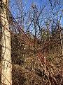 2020-02-09 15 43 38 Red-twig Dogwood in winter along a walking path in the Franklin Farm section of Oak Hill, Fairfax County, Virginia.jpg