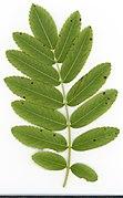 2020 year. Herbarium. Sorbus aucuparia. img-036.jpg