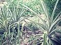 21 agosto - panoramio - lacides brochado sal… (5).jpg
