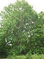 3. Aspen Poplar (Populus tremula) (3606840325).jpg