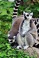 50 Jahre Knie's Kinderzoo Rapperswil - Lemur catta 2012-10-03 15-29-31.JPG