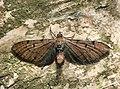 70.179 BF1830 Wormwood Pug, Eupithecia absinthiata (4798873434).jpg