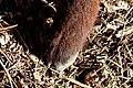 Aún le falta mucho por crecer a esta cabra murciano-granadina, hasta entonces puede presumir con estas paticas' - panoramio.jpg