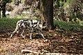 AFRICAN WILD DOG (14003787302).jpg