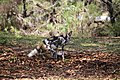AFRICAN WILD DOG (14006968475).jpg